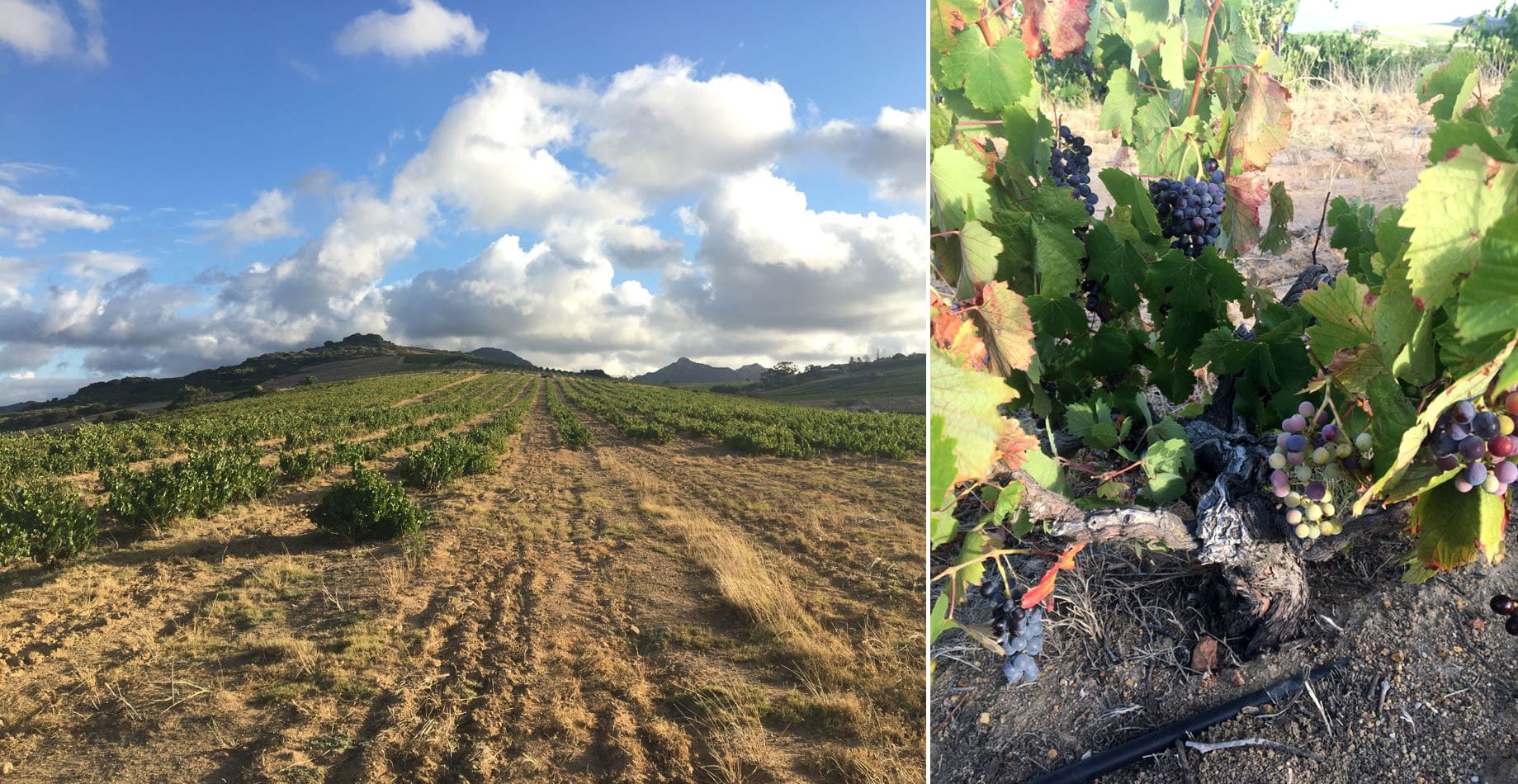 This east-facing vineyard at Scholes Farm in Paardeberg, with sandstone soil, was planted in 1967 with Pinotage and some Tinta Barroca. Pinotage is one of the earliest varieties to harvest, even before Chenin Blanc.