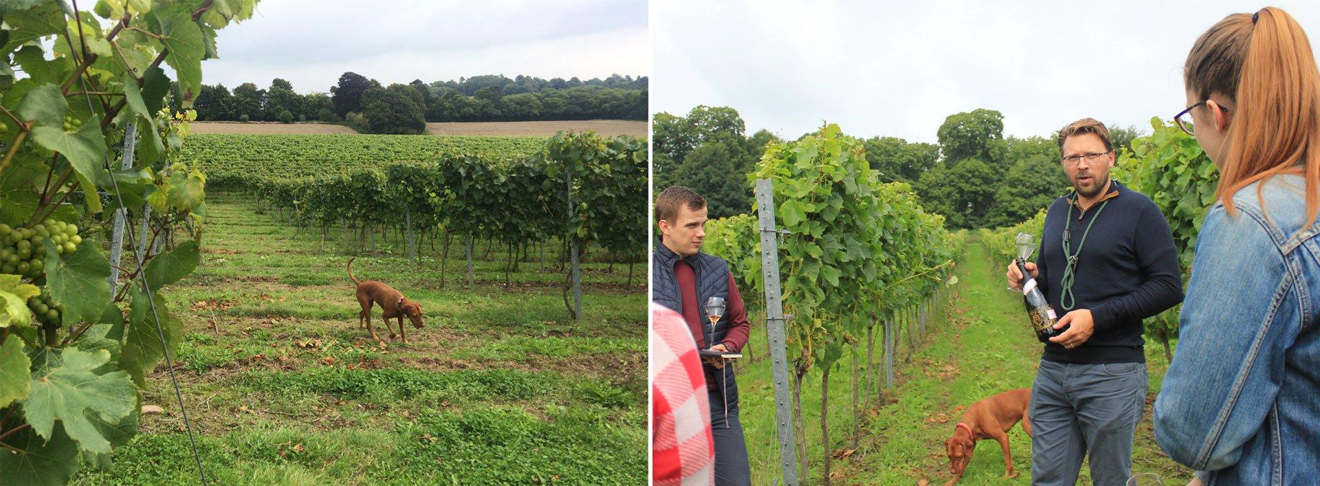 Mountfield vineyards