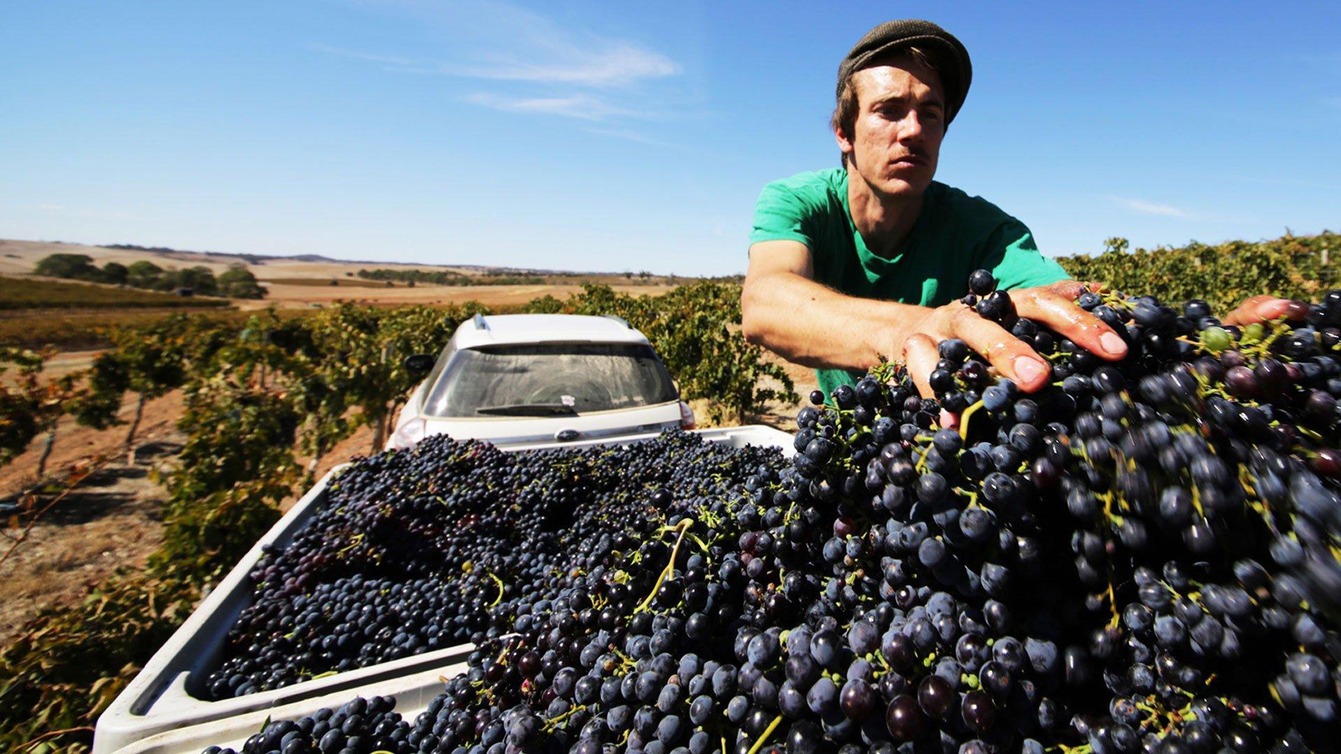 Steve in his Montepulciano vineyard